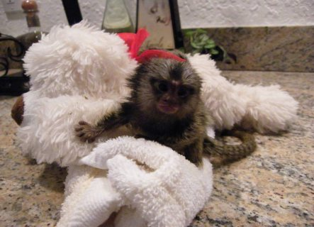 Well trained hand raised monkey available for home