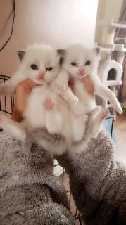 Quality raise Ragdoll kittens for sale