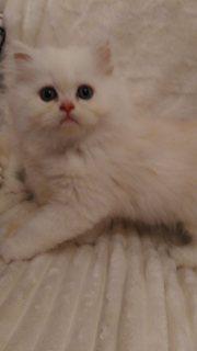 Super cute white Persian kittens for sale