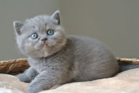 Adorable British short hair kittens for sale