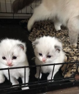 Awesome home raise Ragdoll kittens for sale