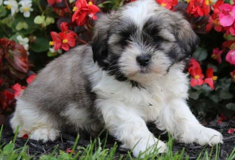 Clean adorable Shih Tzu puppies for sale