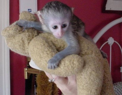 Clean and train Capuchin monkey for sale