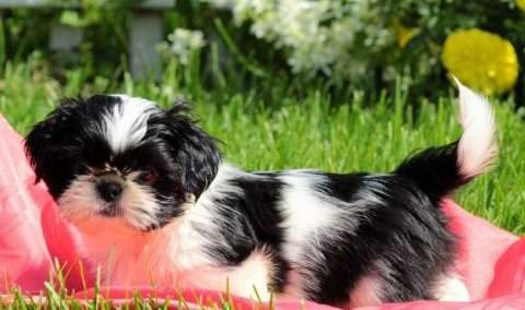 Most beautiful Shih Tzu puppies for sale