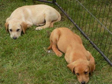 Adorable Labrador Retriever Puppies For Sale