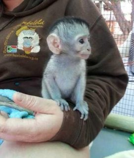 l...Male and female Capuchin monkeys for sale