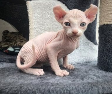 Beautiful Sphynx Kittens for Sale