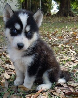Siberian Husky puppies available.