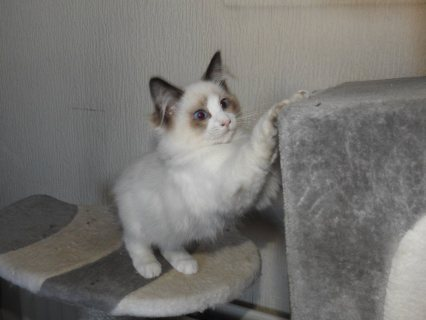Super adorable Ragdoll kittens for sale
