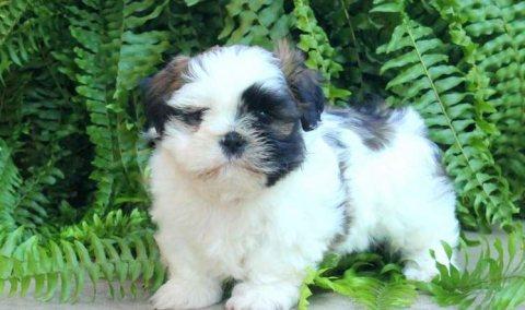 Clean home raise Shi Tzu puppies for sale