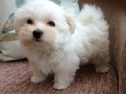 Super cute white Maltese puppies for sale