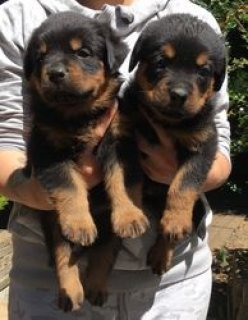 Home Raised Rottweiler Puppies For Sale