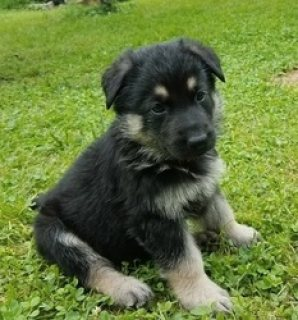 Male and Female German Shepherd Puppies Available