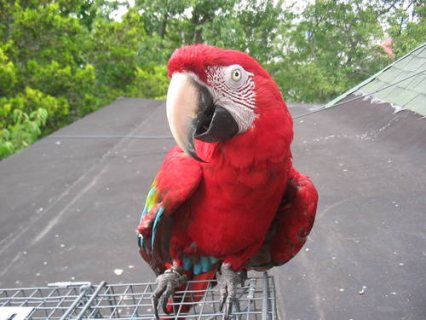 صور Beautiful tropical macaw for sale 1