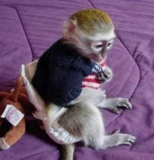Get your healthy monkeys here, Capuchin and Marmoset available.....s