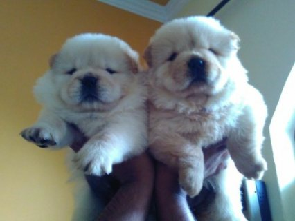 Fantastic Chow Chow Puppies for sale