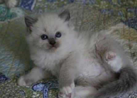 Super cute Ragdoll kittens for sale