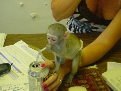 Lovely Capuchin Monkeys For sale.
