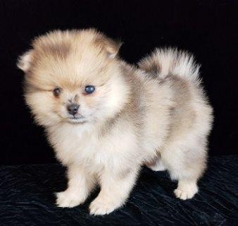 Stunning Pomeranian Puppies