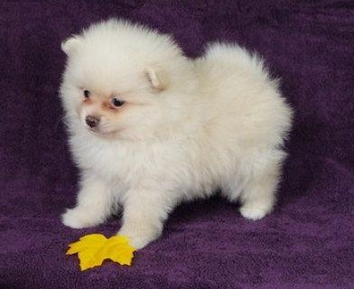 Sweetest Teacup Pomeranian Puppies