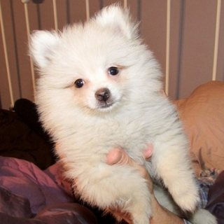 Adorable Pomeranian Puppies For Sale