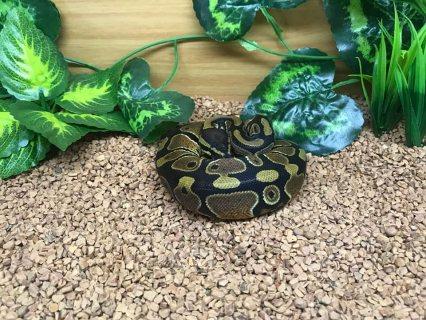 Ball Python Snakes For Sale