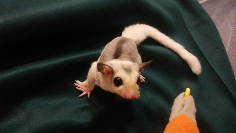 Lovely And Friendly Sugar Gliders for Sale