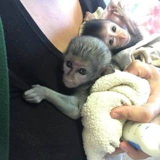 home trained capuchin monkeys for sale