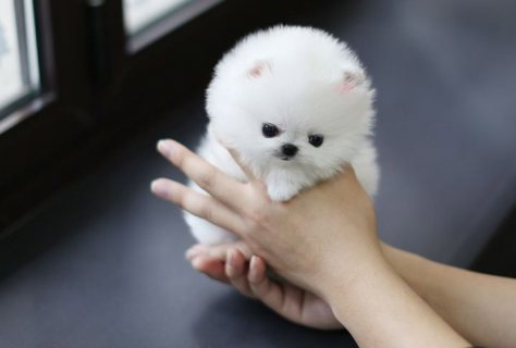 home trained teacup pomeranian puppies for sale