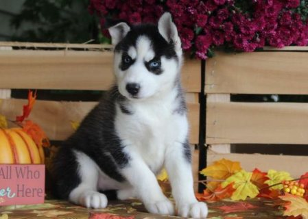 home trained siberian husky puppies for sale