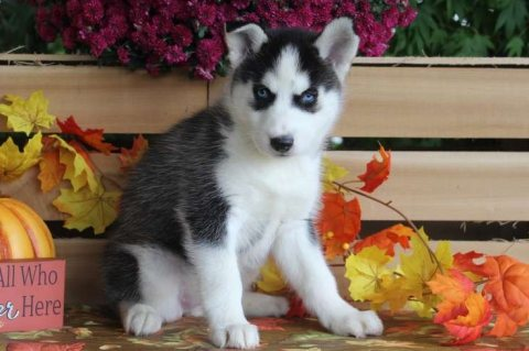 cute siberian husky puppies for sale