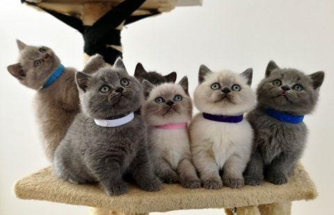 cute british shorthair kittens for sale