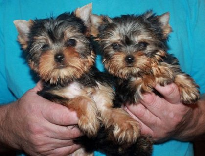Tiny Teacup Yorkie Puppies for sale