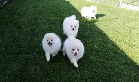 الساحرة AKC صحي كلب صغير طويل الشعر جرو للتبني.