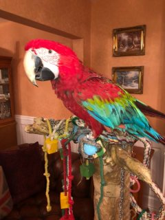 Green Wing Macaw Parrots
