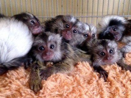 Gorgeous Marmoset Monkeys now available