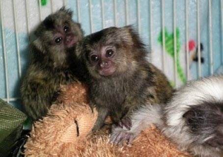 Well Trained Marmoset Monkeys
