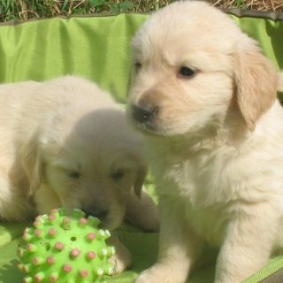 Beautiful mini golden retriever puppies available