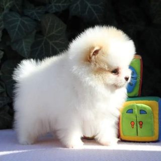 Affectionate blue Pomeranian puppies for sale