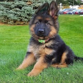 German shepherd puppies for new homes