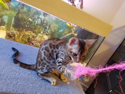 Bengal kittens for sale now