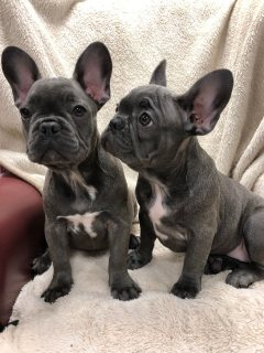 French bulldogs are available for good homes