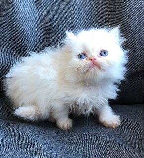 Persian white Kittens for adoption