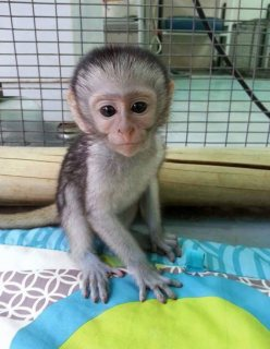 home raise capuchin monkeys for sale