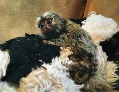 Marmoset Monkeys for Re-homing
