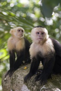 Cute male and female Capuchin Monkeys available