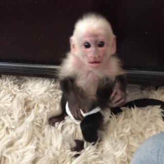 صور baby capuchin monkeys for sale 1