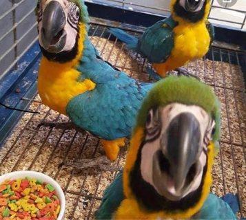 الببغاوات الزرقاء والذهبية المتاحة blue and gold macaw parrots