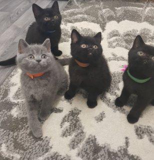 القطط البريطانية الشعر القصير المتاحة british shorthaired cats