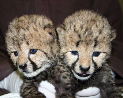 تدريب الفهد طفل الأشبال للبيع(Trained Baby Cheetah Cubs For Sale)